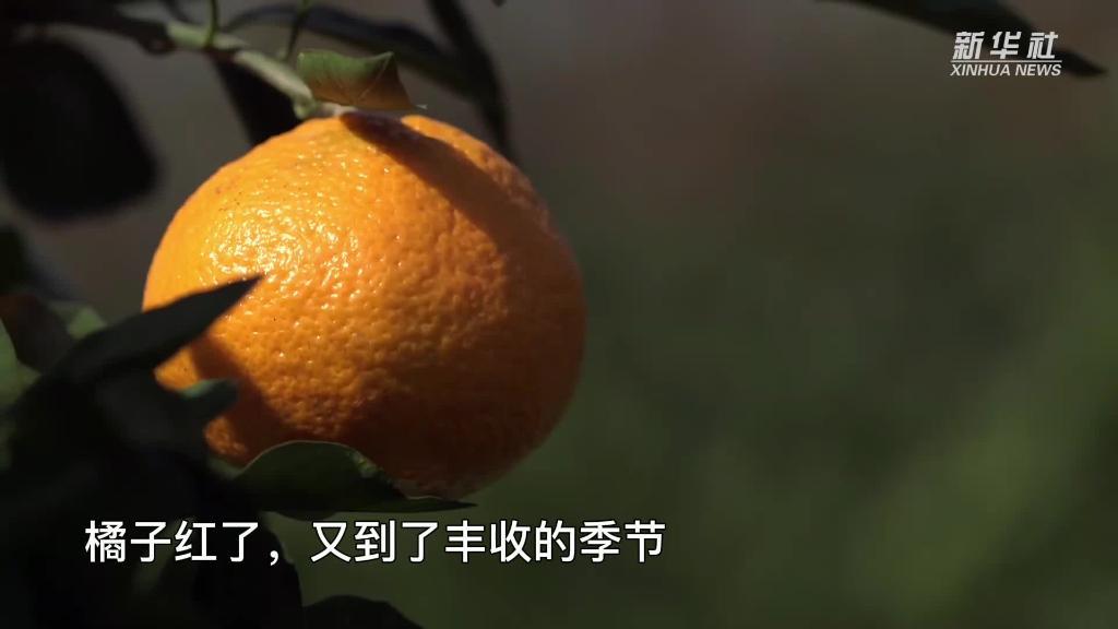 橘子红了,上海崇明农旅结合双丰收